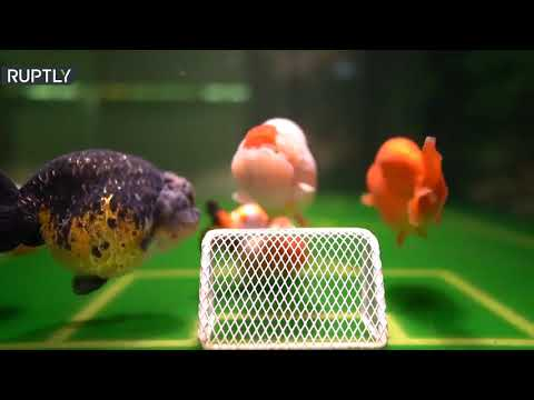 شاهد صيني يدرب أسماكه الذهبية على لعب كرة القدم بطريقة مبتكرة