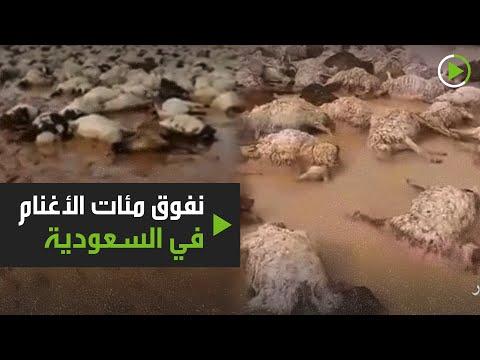 شاهدنفوق نحو 1000 رأس غنم بسبب السيول في شعيب عرعر السعودية